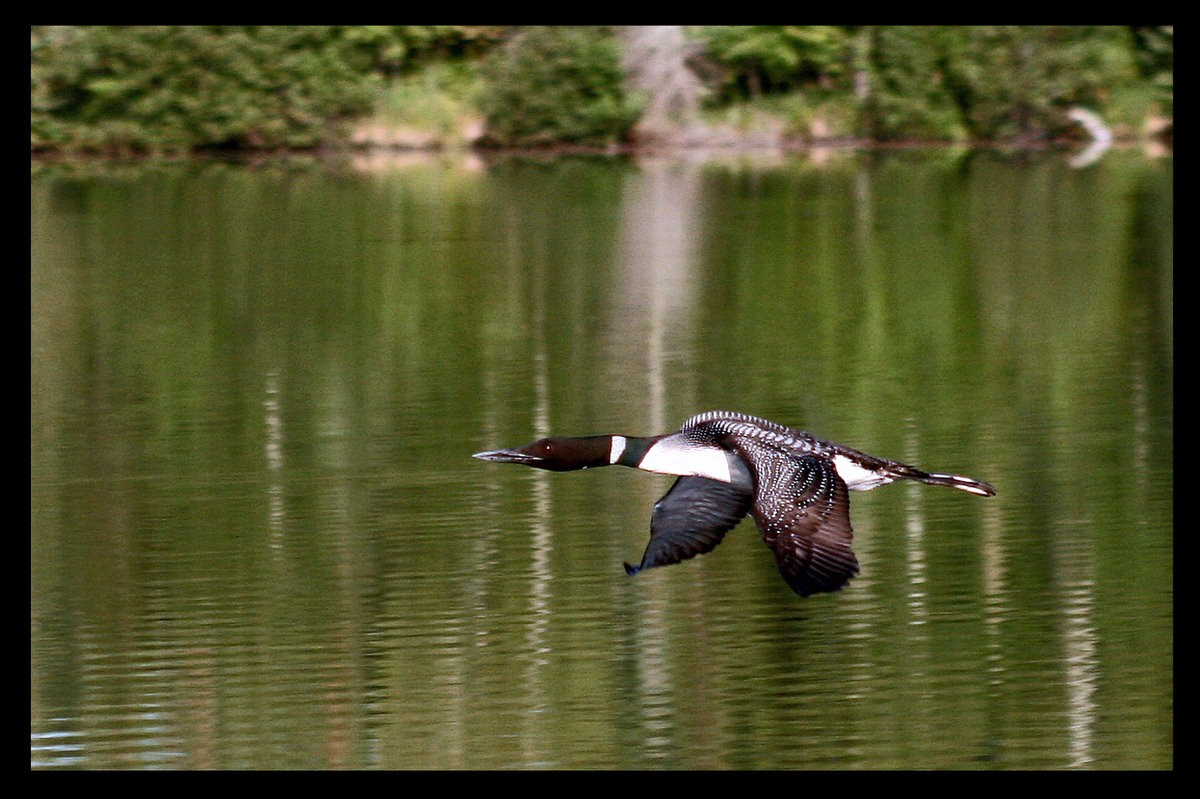 loon in flight author pluskwik paul