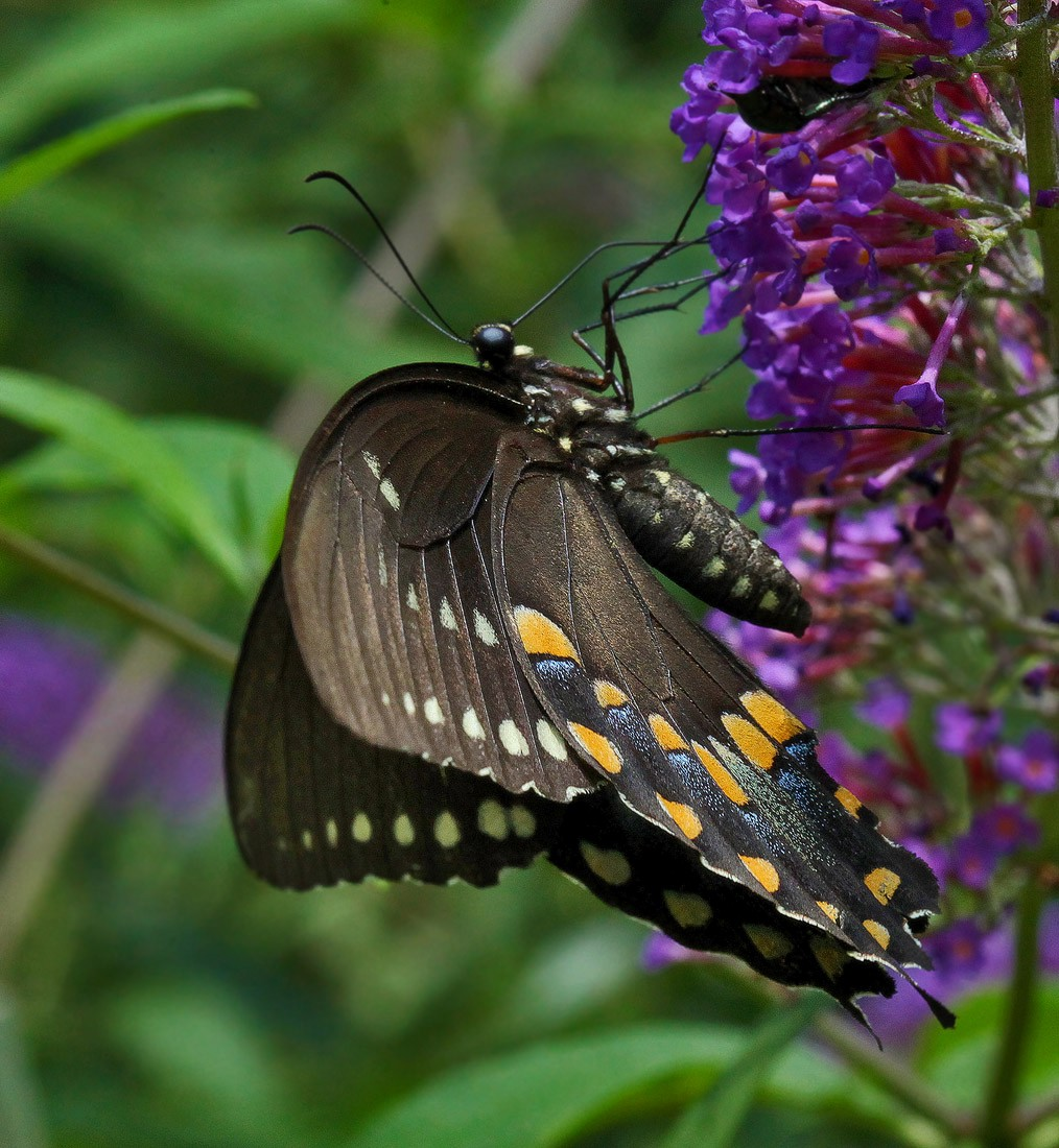 black swallowtail img aw author sava gregory and verena