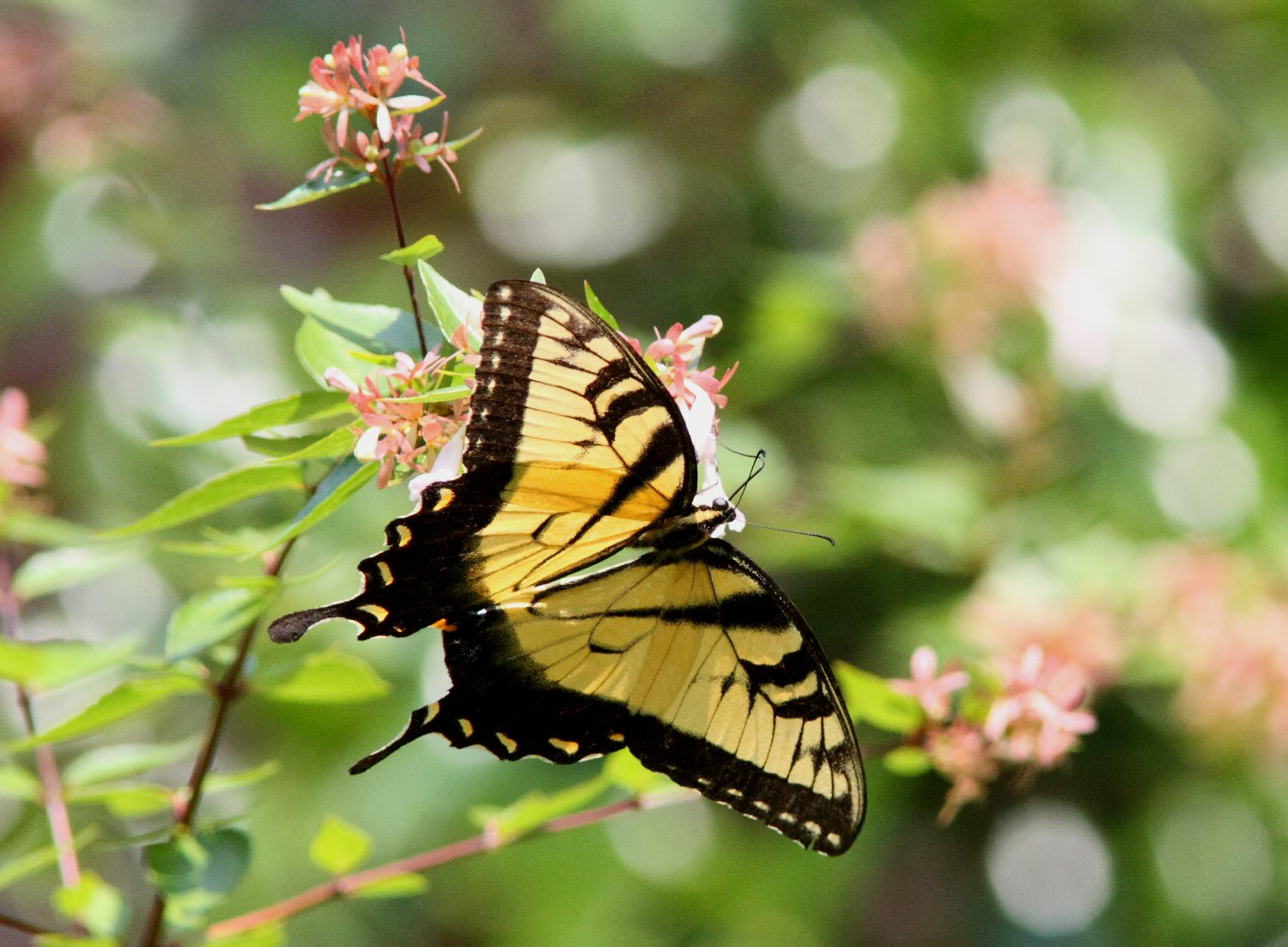 tiger swallowtail perched sideways august author kelly landrum