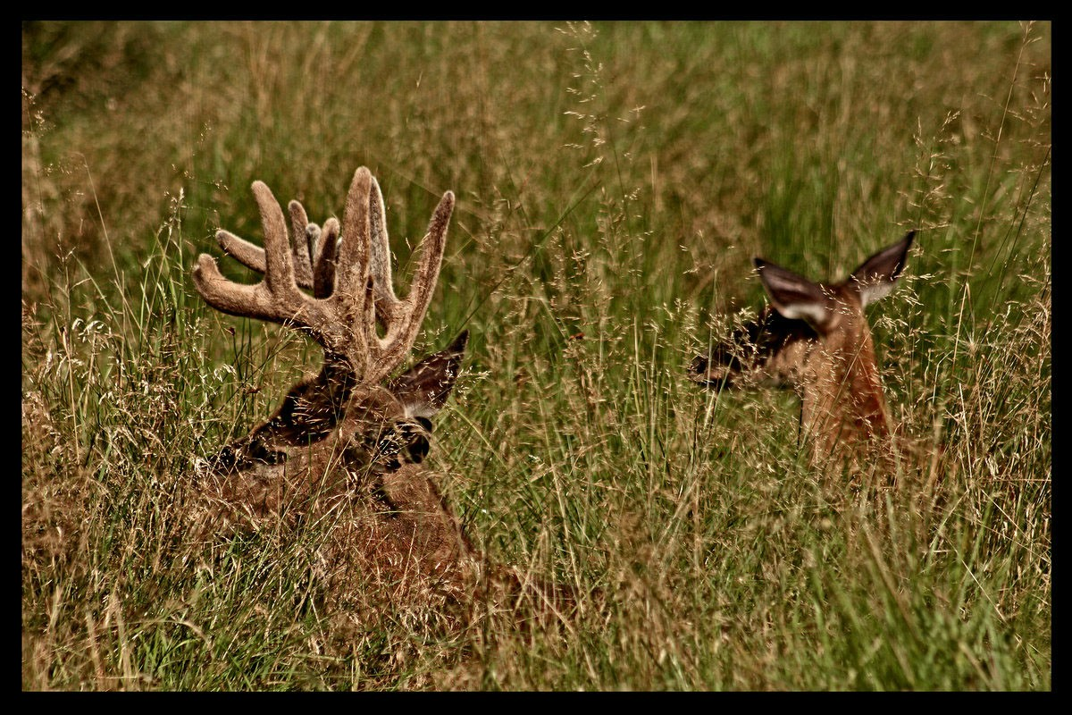 whitetailtail buck and doe bedded down author pl pluskwik paul
