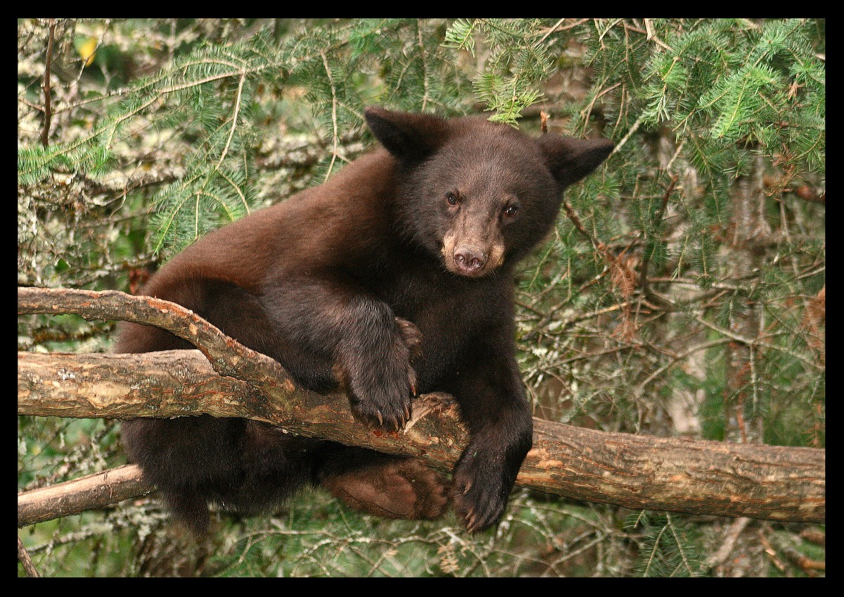 this is not comfortable black bear cub author pl pluskwik paul