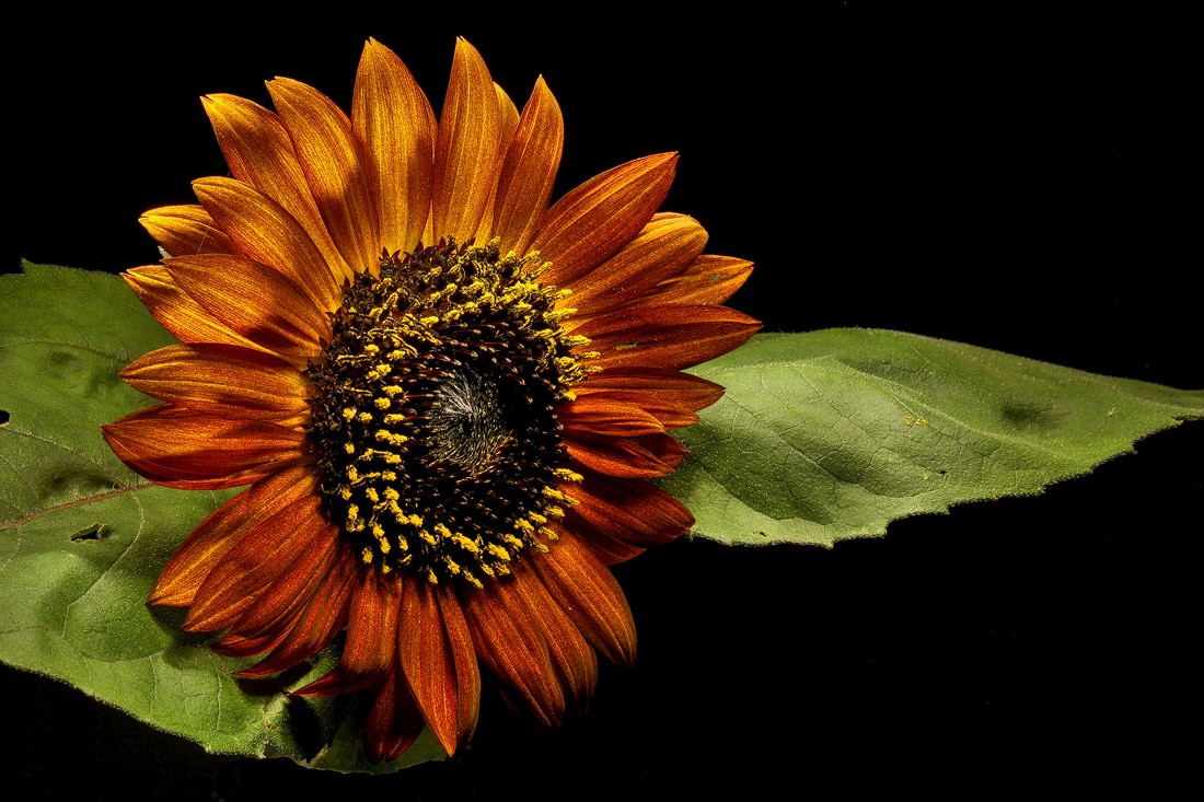 sunflower sitting on leaf img aw author sava greg gregory and verena