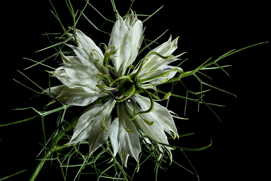 white love in a mist img aw author sava gregory and verena