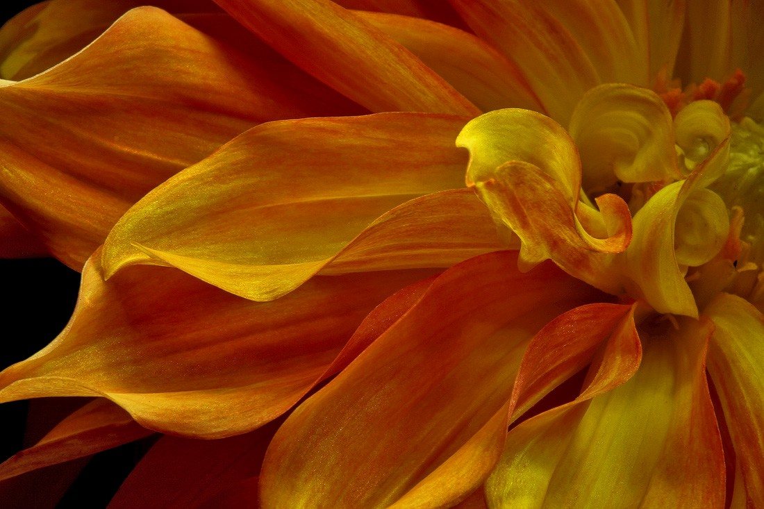 flaming dahlia img abw author sava gregory and ve verena