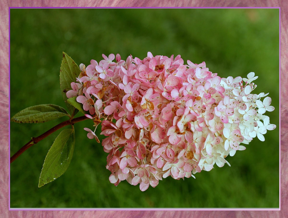 hydrangea flower in full blooom author pluskwik p paul