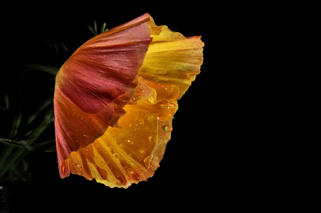 california poppy img aw author sava gregory and v verena