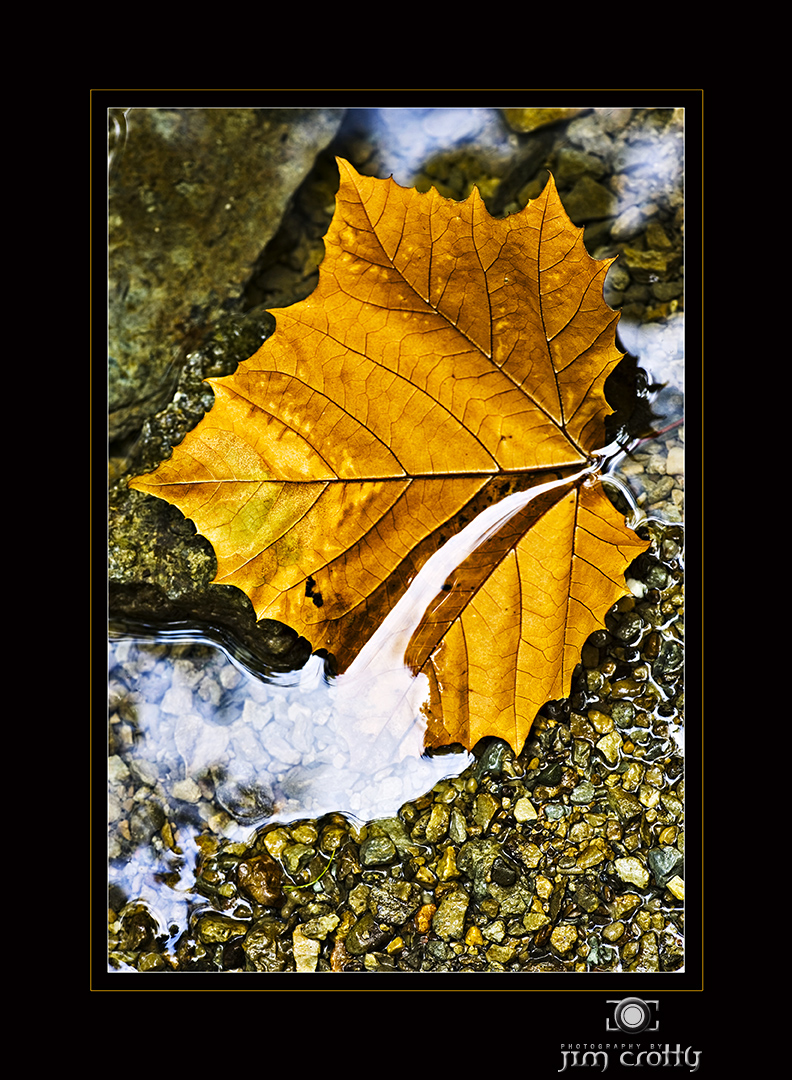 sycamore leaf in stream by jim crotty author crot
