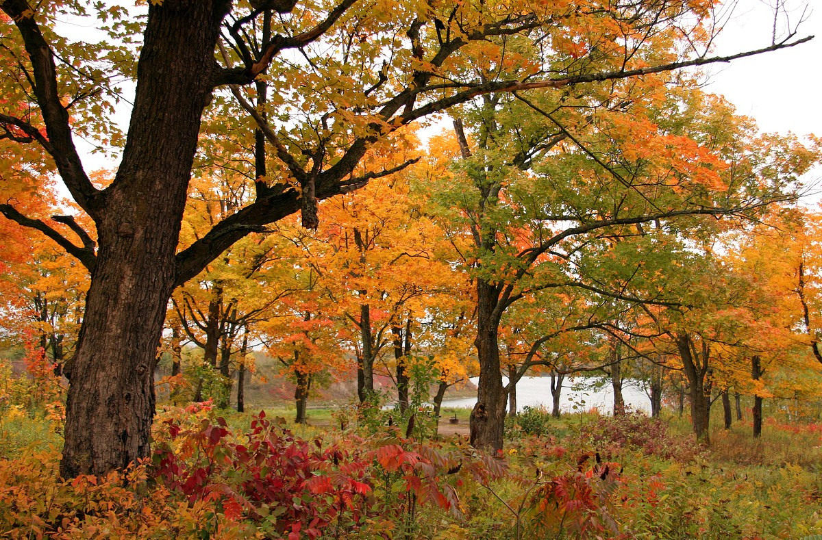 fall colors in the maple tree forest author plusk pluskwik paul