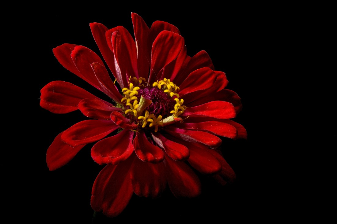 red zinnia img aw author sava gregory and verena