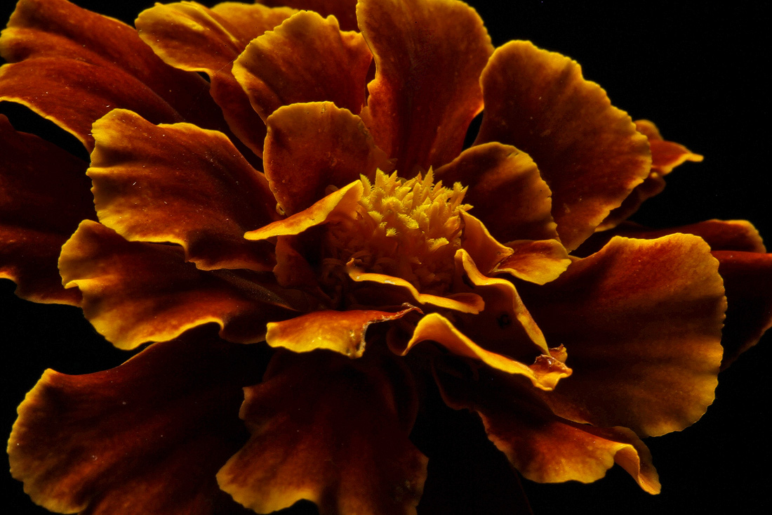 marigold coral like author sava gregory and ver verena