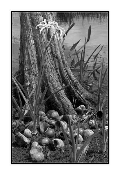 swamp lilly and snails author watson richard