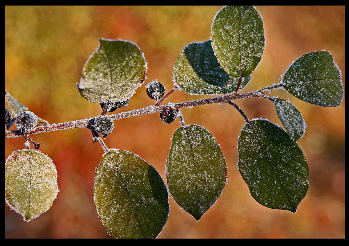 frost on the leaves branches berries author plusk pluskwik paul
