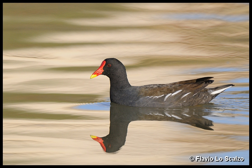 gallinula chloropus common moorhen author lo sc scalzo flavio