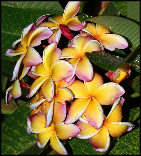 dew drops on a thai orchid author downs jim