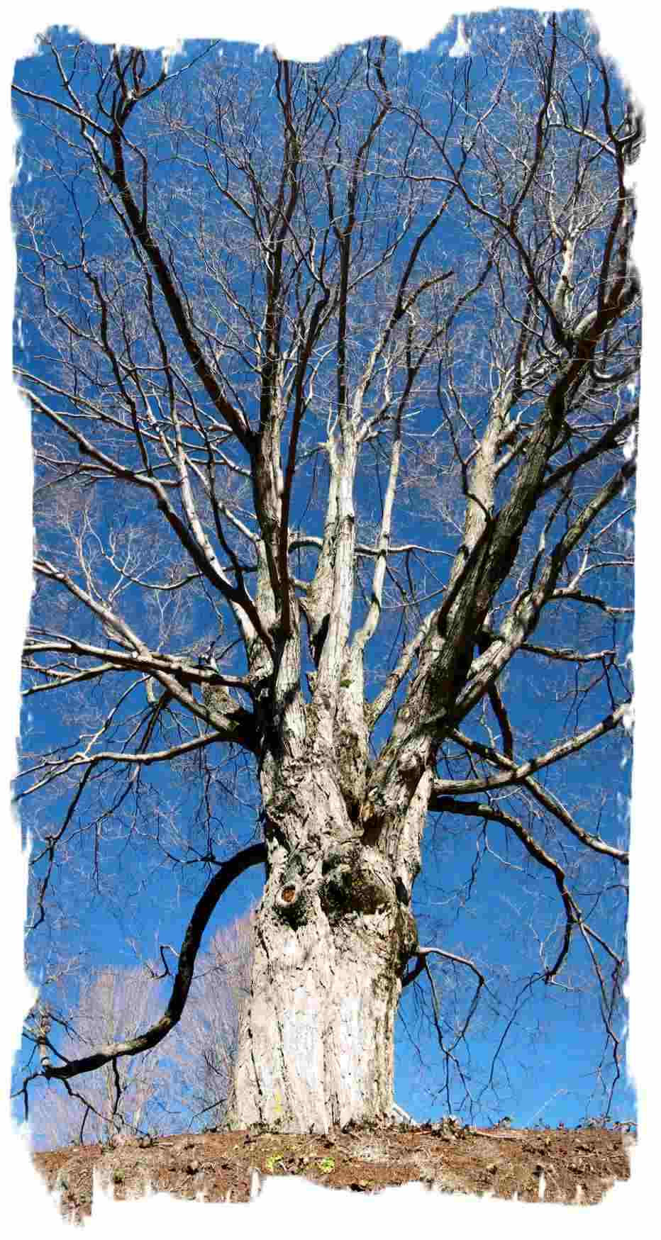 tree against deep blue sky of the ridge mount barman dilip