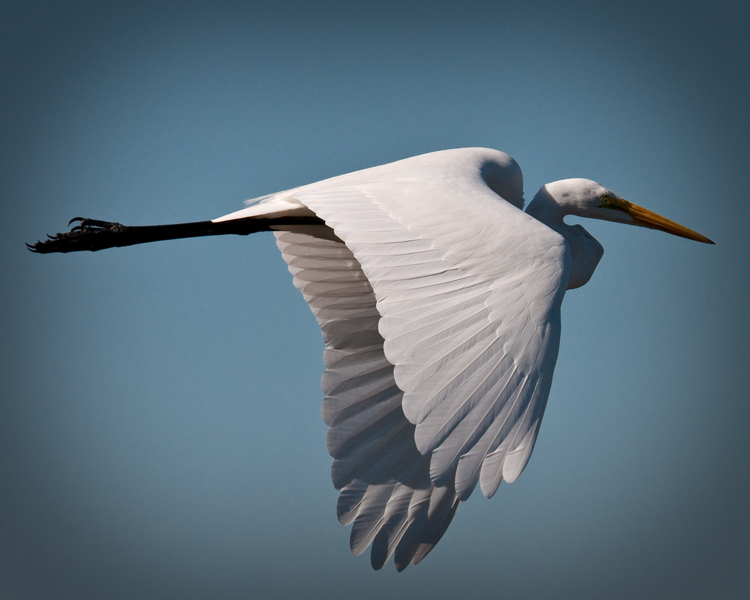 great egret author watson richard