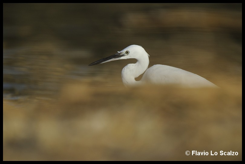 egretta garzetta little egret author lo scalzo flavio