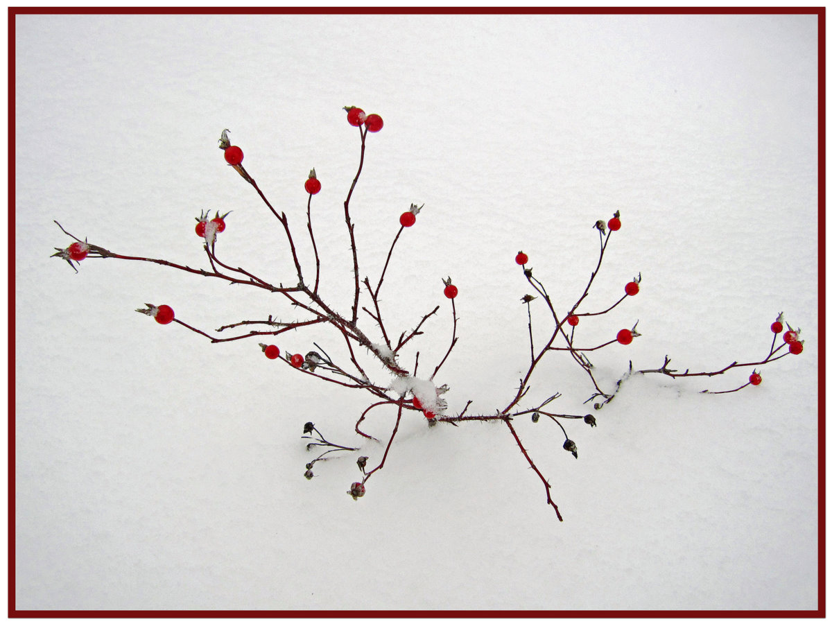 rose hips through the snow author pluskwik paul