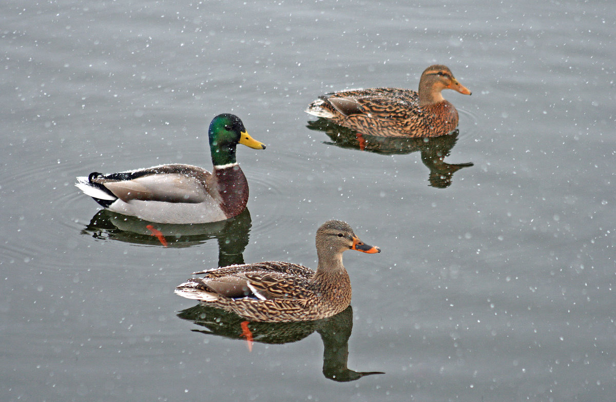 mallard ducks toughing out the snow author pluskw pluskwik paul
