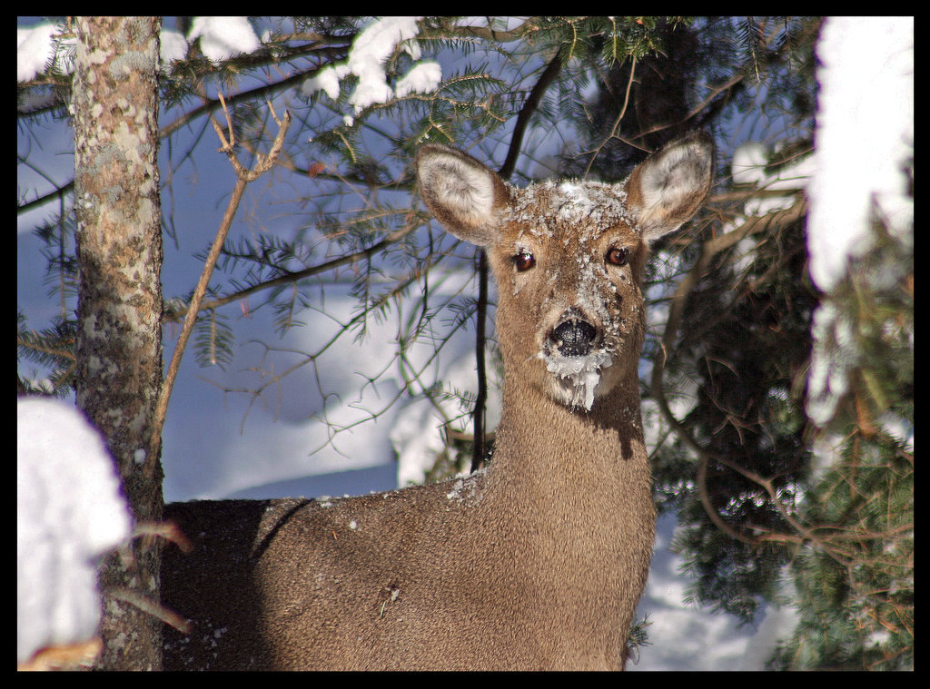 whitetail deer trying to survive the winter autho pluskwik paul