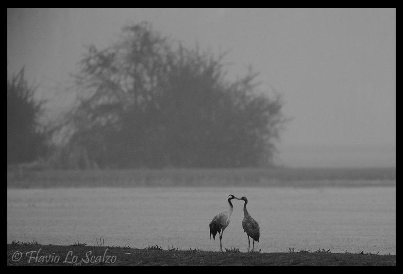 grus common crane author lo scalzo flavio