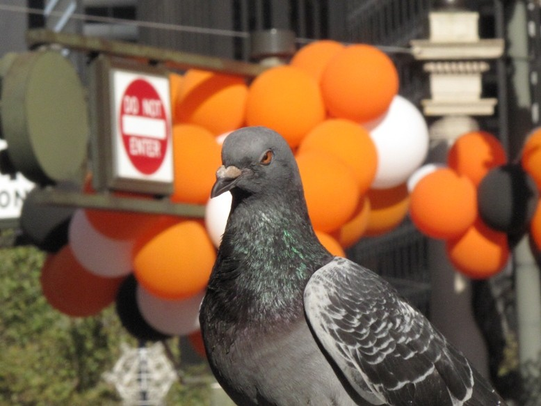 celebrating sf giant pigeon img author dreizler bob