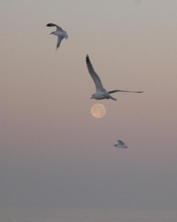 three seagulls with the moon img author dreizler bob