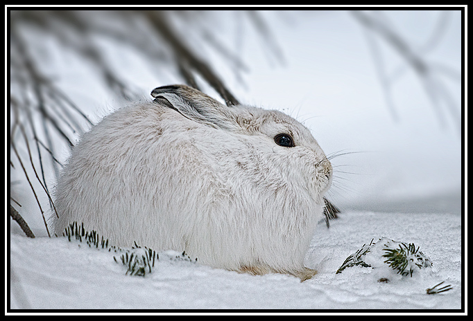 snowshoe hare winter coat author gricoskie jare jared