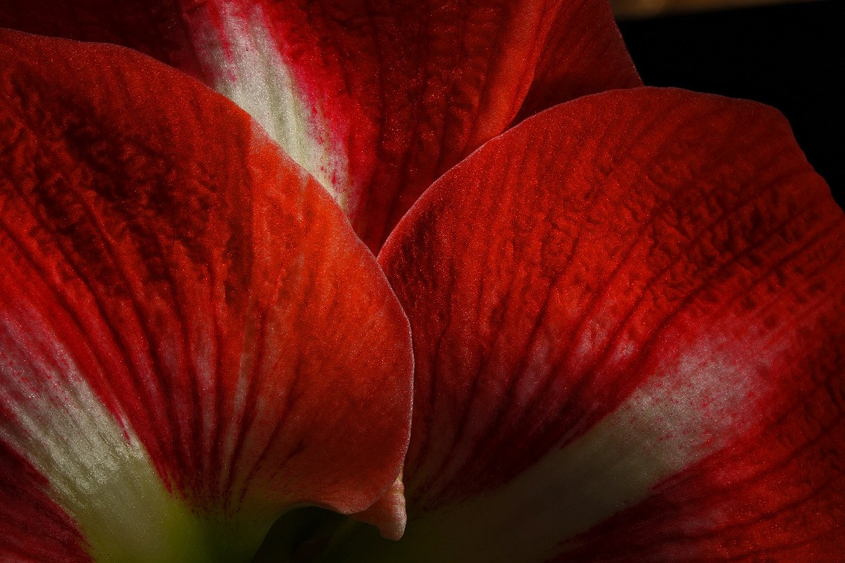 amaryllis petals img aw author sava gregory and v verena