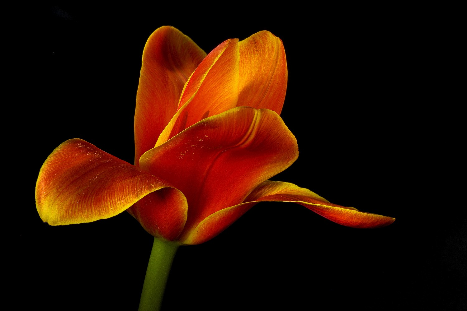 non conformist tulip img aw author sava gregory a and verena