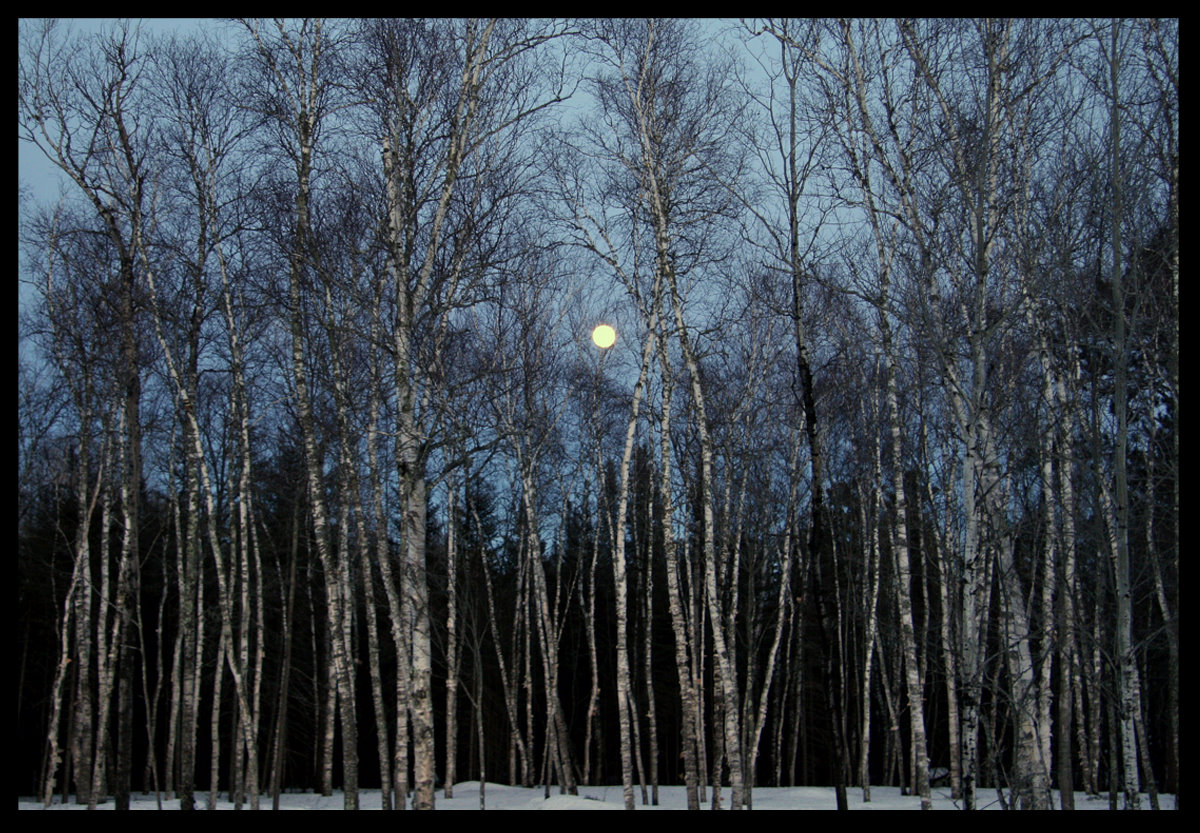 full moon rising through the birch tree forest au pluskwik paul