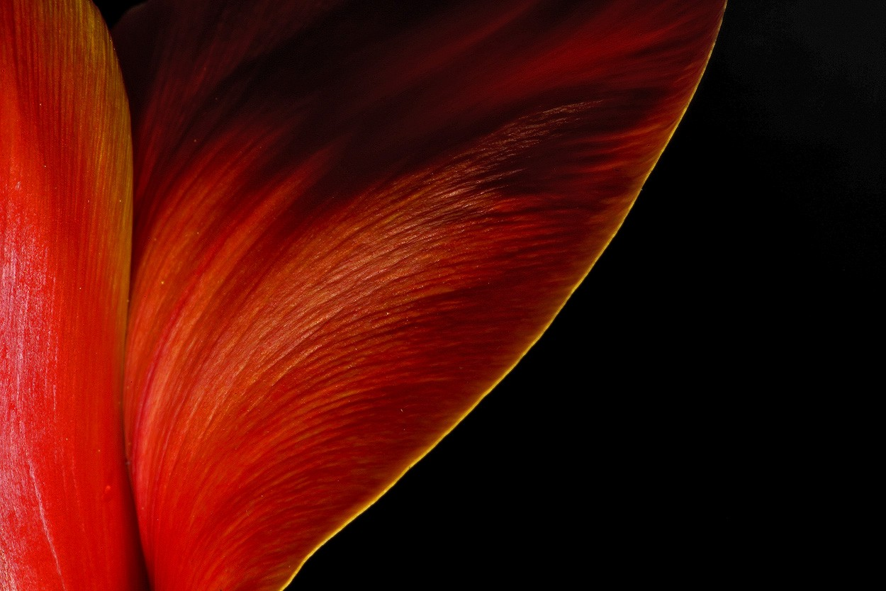 tulip details img aw author sava gregory and vere verena