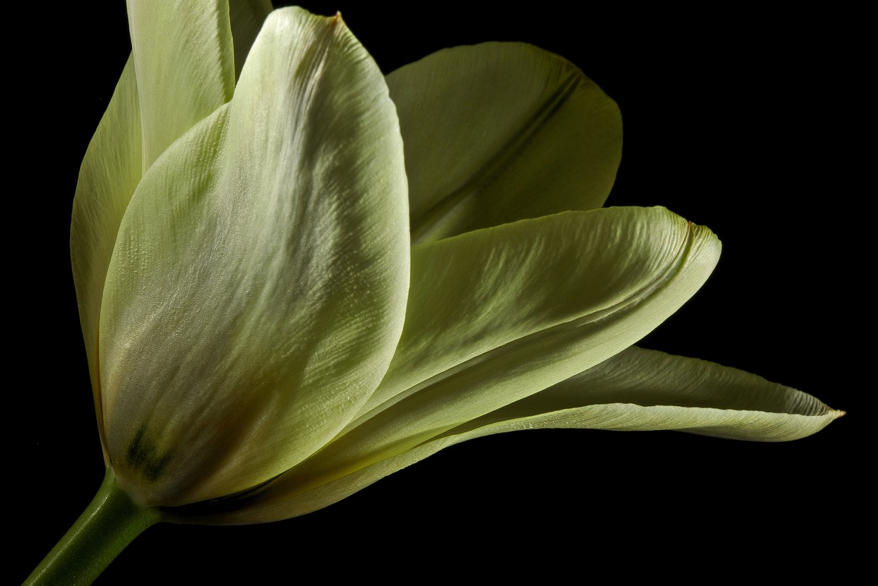 white tulip img aw author sava gregory and verena