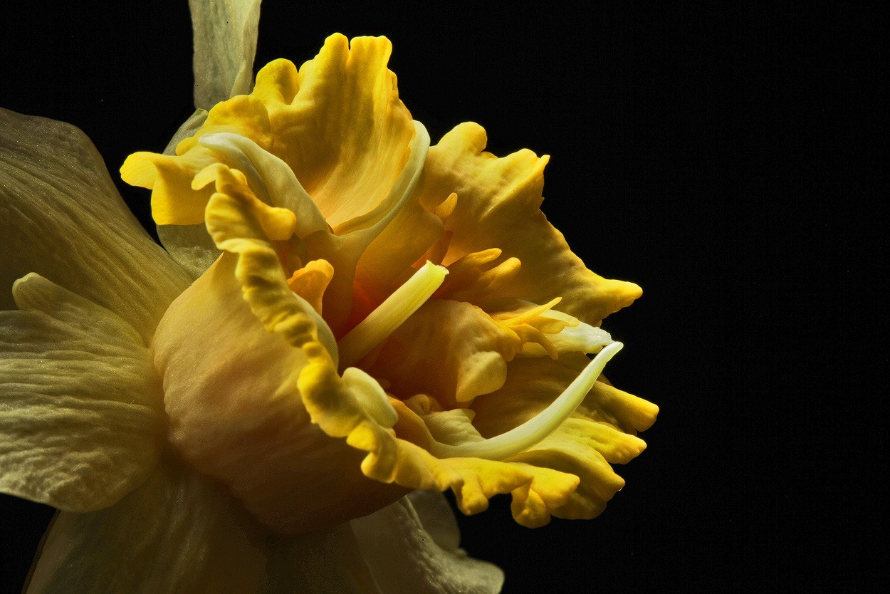 yellow frilled daff img aw author sava gregory an and verena