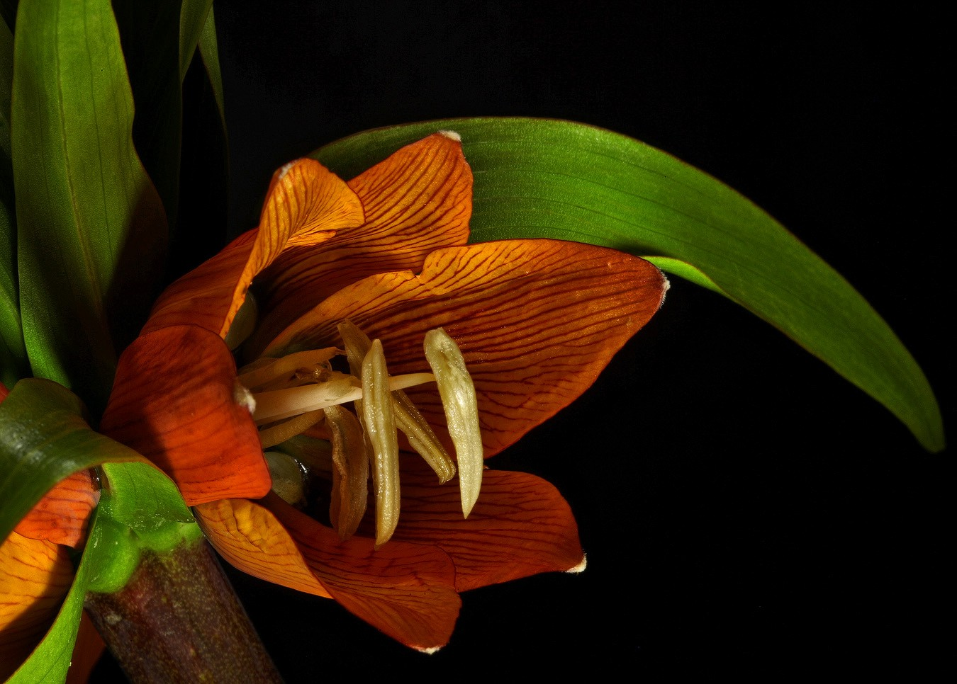 crown imperial img aw author sava gregory and ver verena