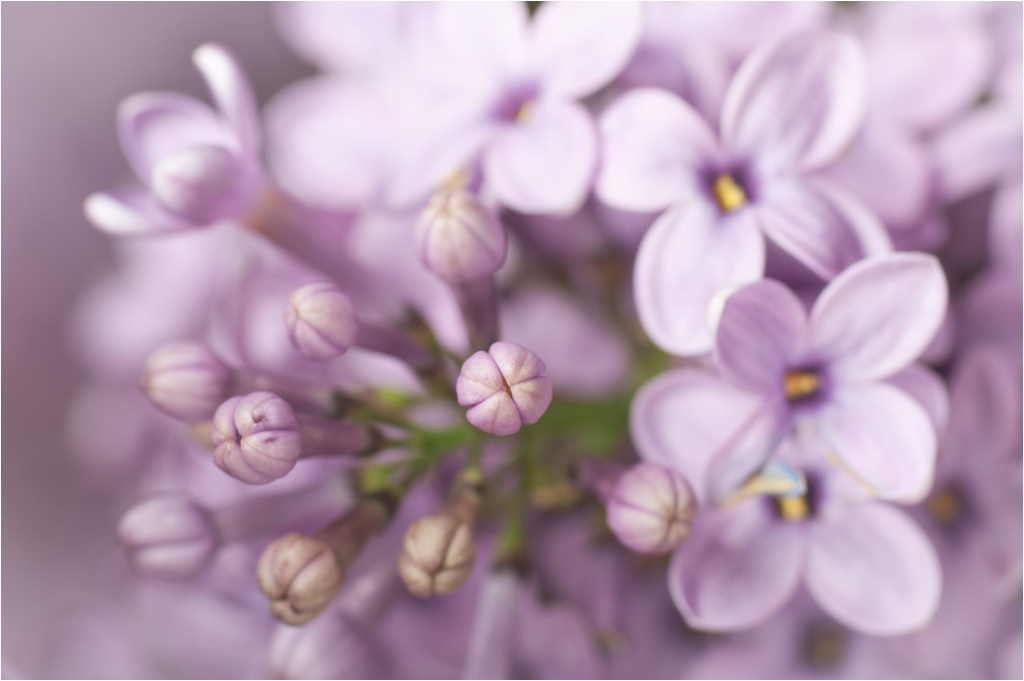 blooming lilac flowers author celasun bulent