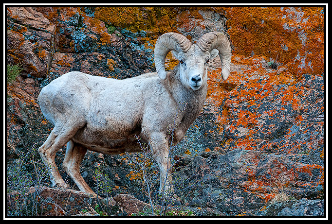 bighorn ram lichen background author gricoskie ja jared