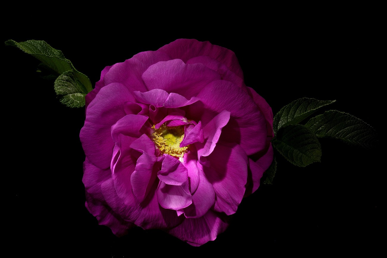 rugosa img aw author sava gregory and verena