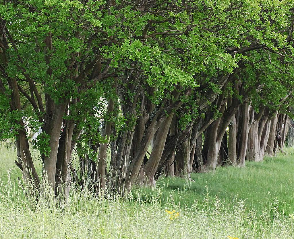 crepe myrtles in a row author kelly landrum