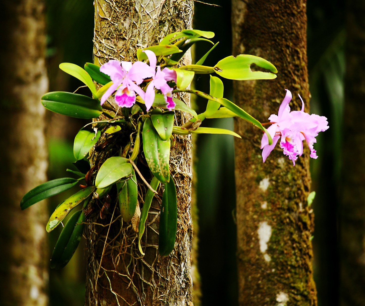 pink orchids on tree trunks jpg author israel dav david