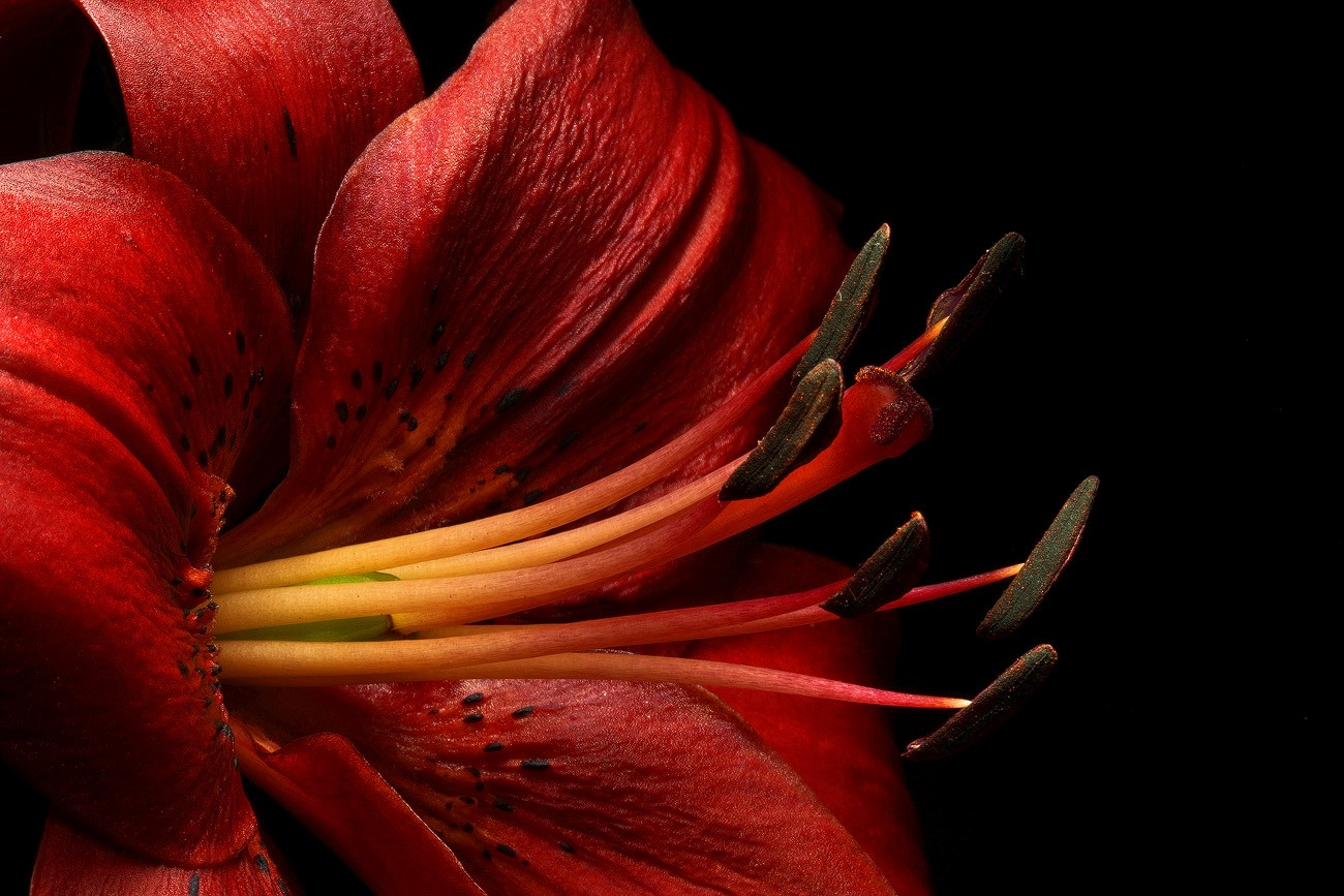 red oriental lily img aw author sava gregory and verena