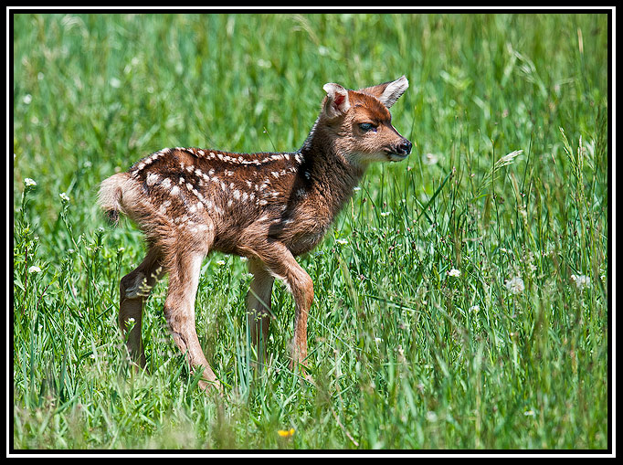 mule deer fawn author gricoskie jared