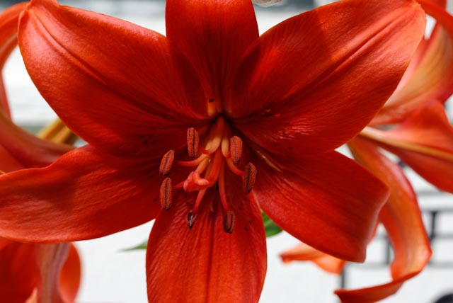 red asian lily author brooks david