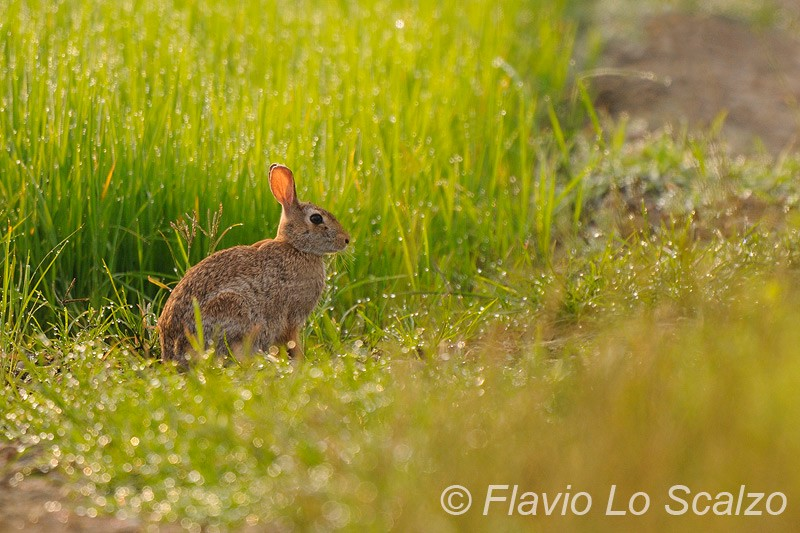 eastern cottontail sylvilagus floridanus author lo scalzo flavio