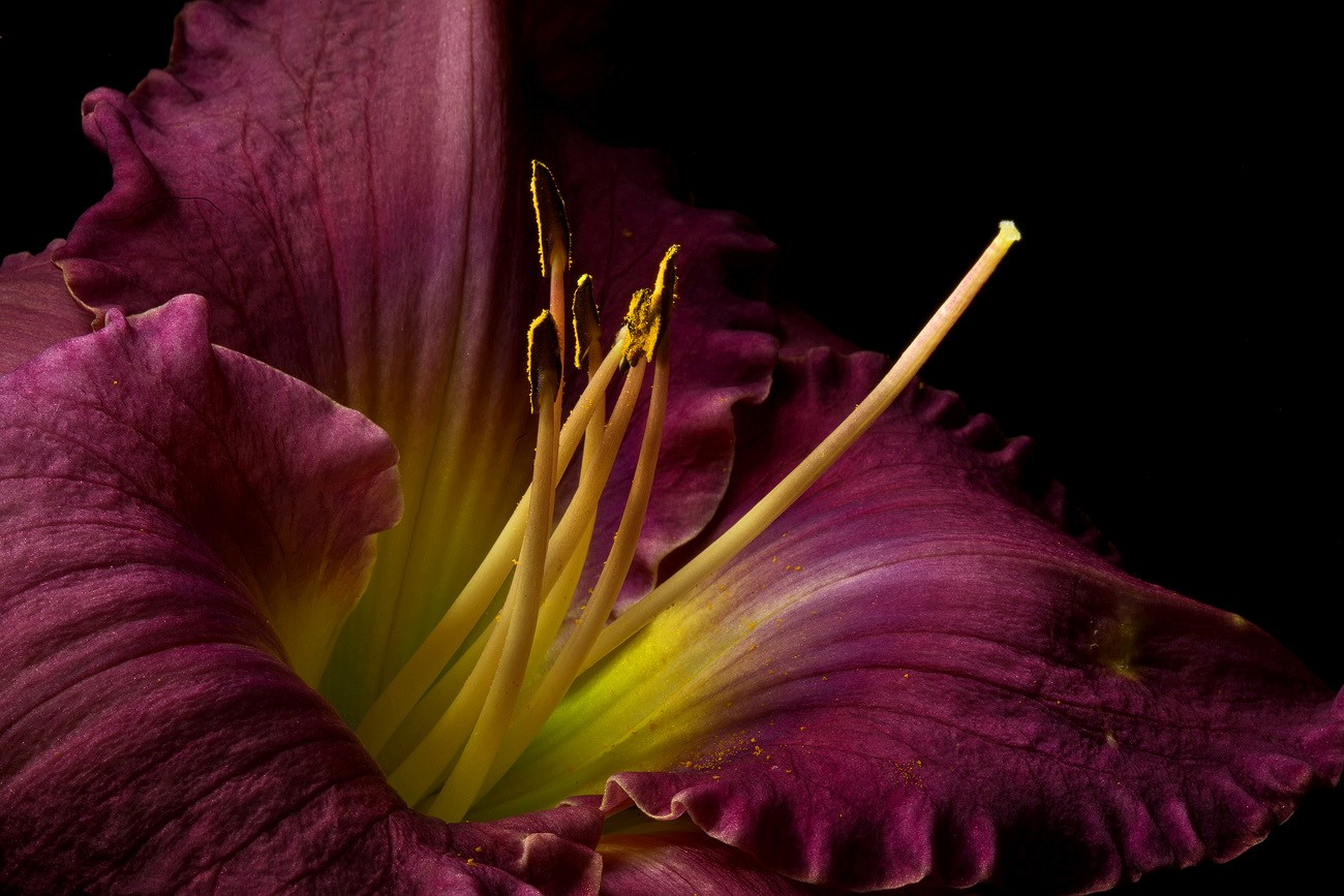 purple lily img aw author sava gregory and verena