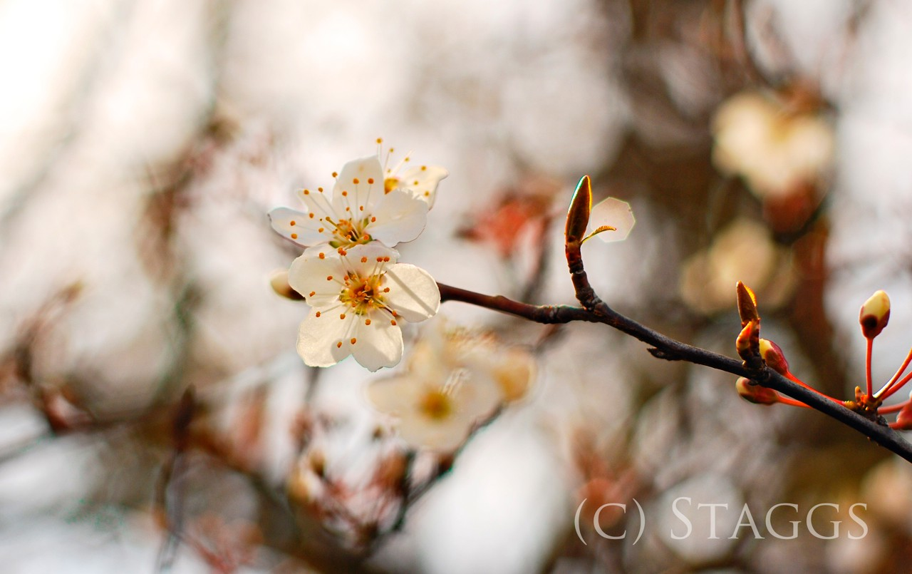 plum blossoms author staggs christopher