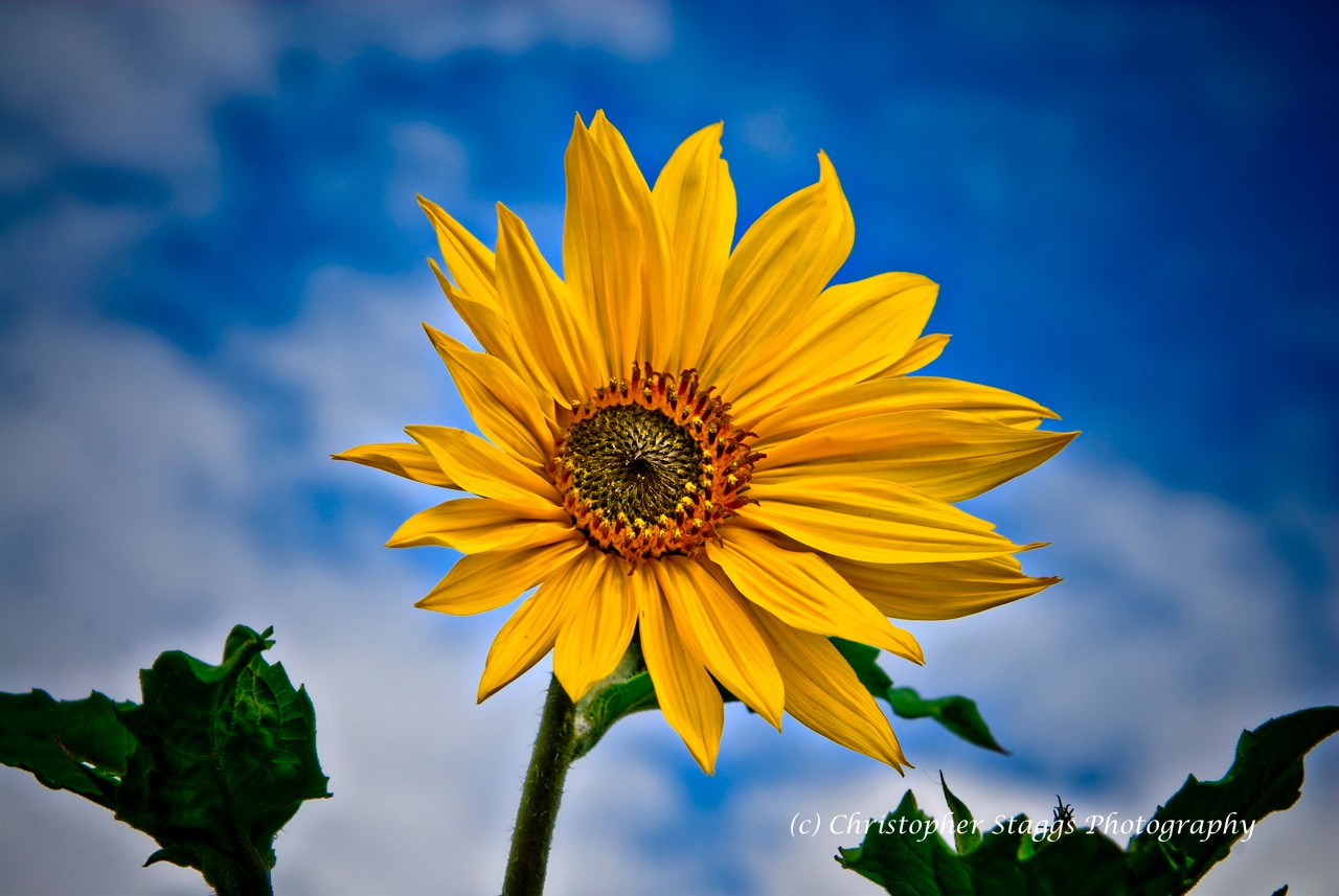 sunflower author staggs christopher