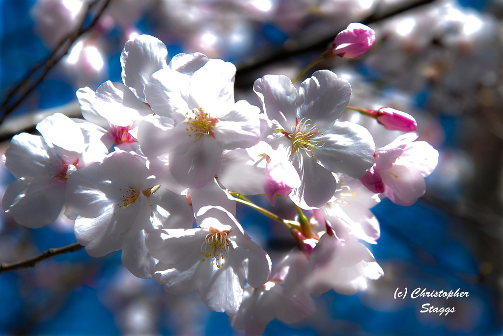 cherry blossom author staggs christopher