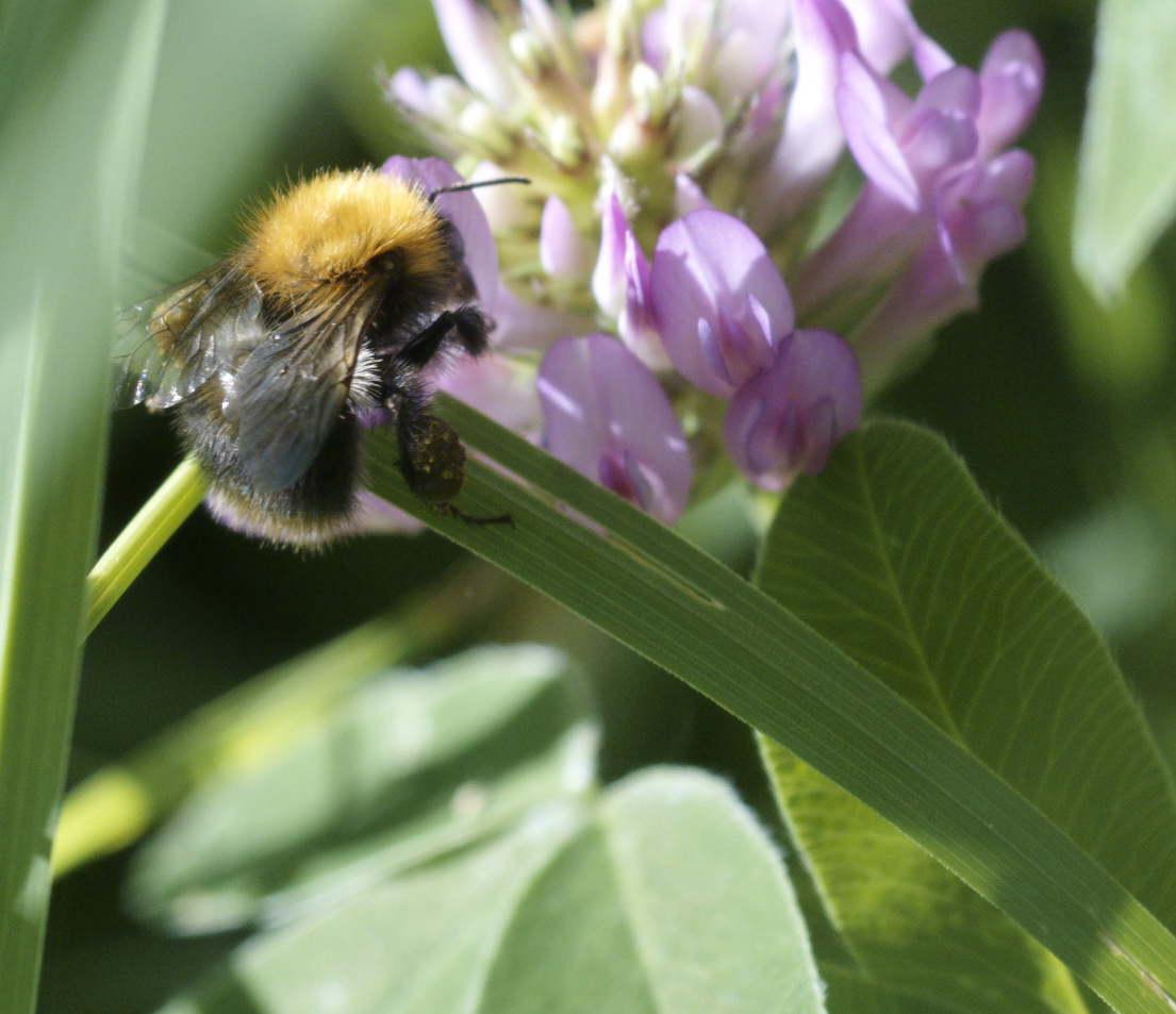 bumblebee at work author soini hannu