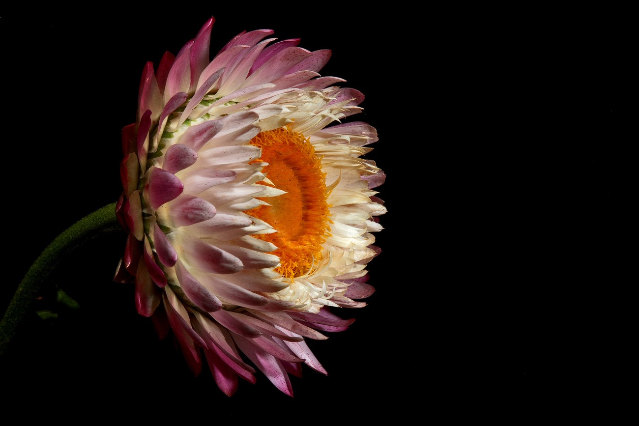 imperfect strawflower img aw author sava gregory and verena